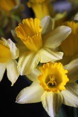 180301 daffodils (4)