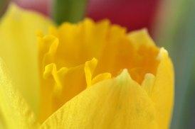 180301 daffodils (5)