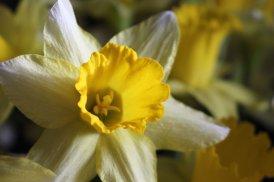 180301 daffodils (7)