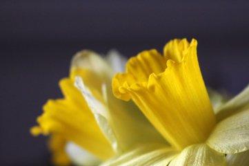 180301 daffodils (8)