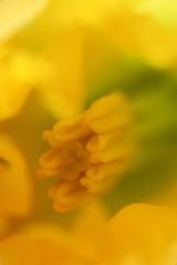 180301 daffodils (9)