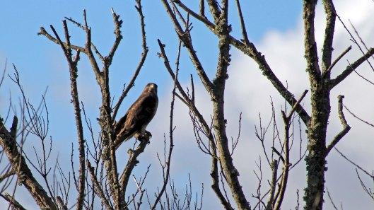 180304 180202 (2) buzzard