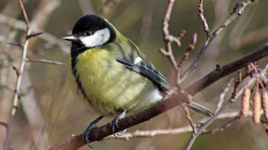 180304 180202 (3) great tit