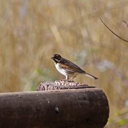180304 180209 reed bunting