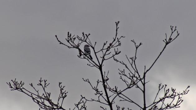 102 Great grey shrike