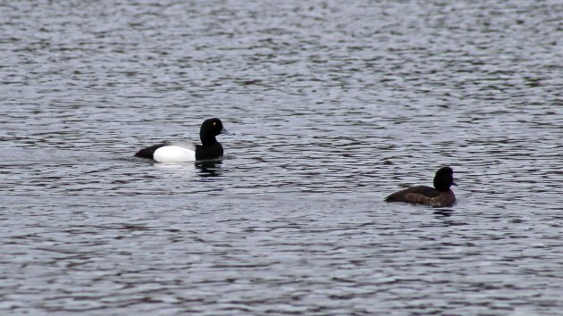 104 Scaup