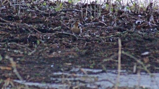 180310 Hawfinch