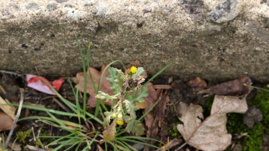 180311 pavement plant groundsel
