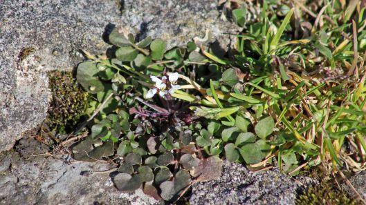 180311 pavement plant hairy bittercress (2)