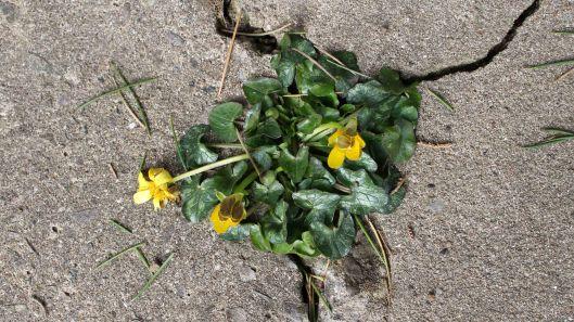 180311 pavement plant lesser celandine