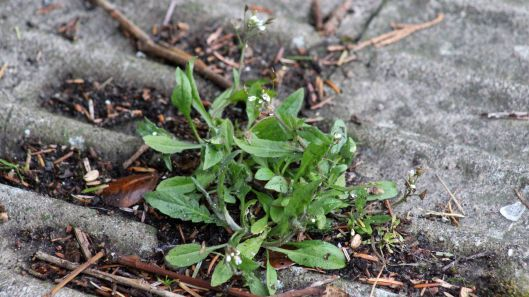 180311 pavement plant Shepherd's purse