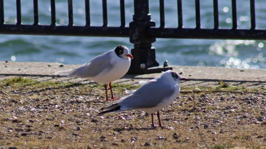 180312 Med & black-headed gulls