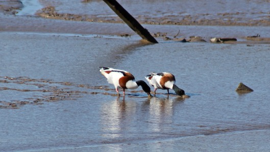 180312 Shelducks
