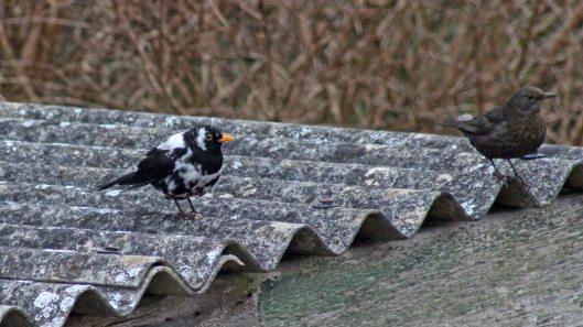 180314 leucistic blackbird (1)