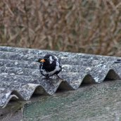 180314 leucistic blackbird (2)