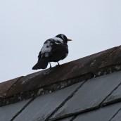 180314 leucistic blackbird (3)