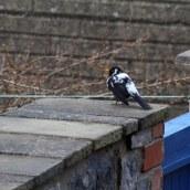 180314 leucistic blackbird (4)