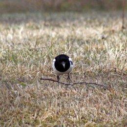 180315 Magpie nest building (1)