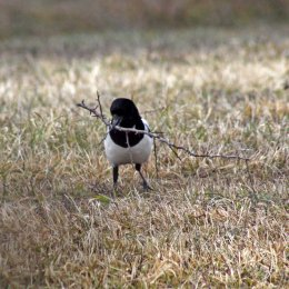 180315 Magpie nest building (3)