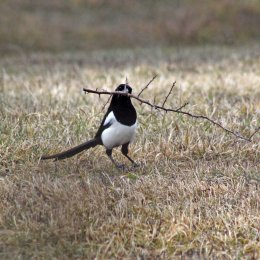 180315 Magpie nest building (6)