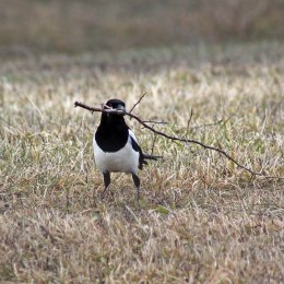 180315 Magpie nest building (8)