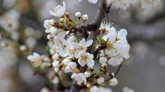 180316 blossom (1)
