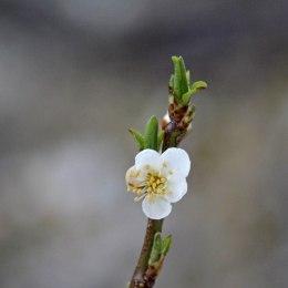 180316 blossom (2)