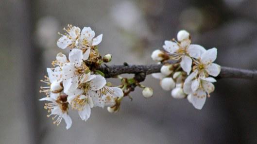 180316 blossom (3)