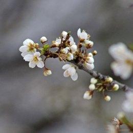 180316 blossom (4)