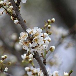 180316 blossom (5)