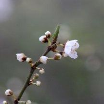 180316 blossom (6)