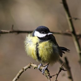 180319 Great tit