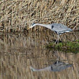 180319 Grey heron