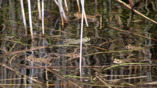 180320 Common frog (1)