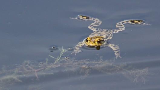 180320 Common frog (2)