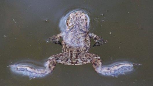 180320 Common frog (4)