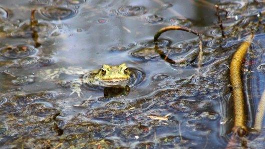 180320 Common frog (5)