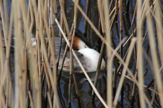 180322 Great crested grebe (1)