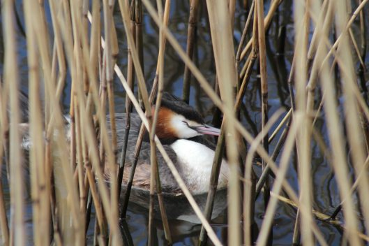 180322 Great crested grebe (3)