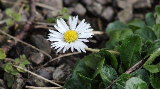 180323 daisy