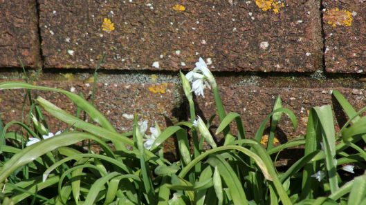 180323 three-cornered leek
