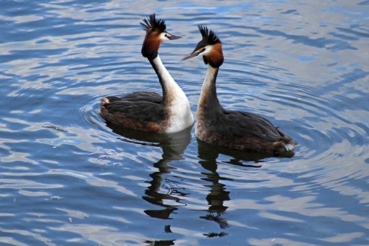 180328 Great crested grebes displaying (1)