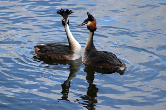 180328 Great crested grebes displaying (2)