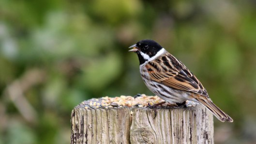 180329 12 Reed bunting