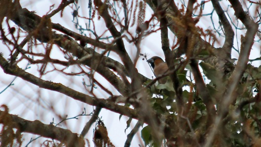 180329 13 hawfinch