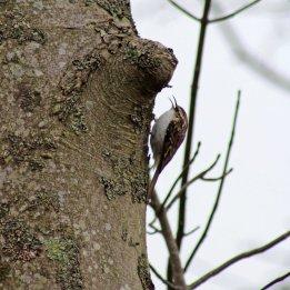 180329 3 Treecreeper