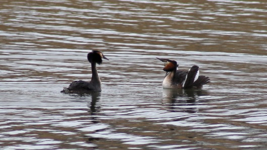 180329 5 Great crested grebes