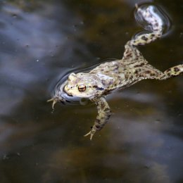 180329 7 Common frog