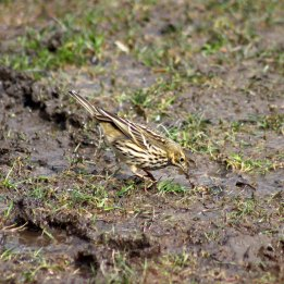 180329 8 Meadow pipits