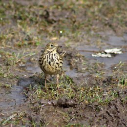 180329 9 Meadow pipits